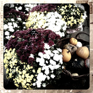 fleur-toussaint-chrysanteme